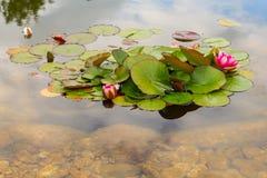 Ρόδινος όμορφος waterlily στην πράσινη λίμνη Εικόνα φύσης στο τοπίο Στοκ Εικόνα