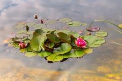 Ρόδινος όμορφος waterlily στην πράσινη λίμνη Εικόνα φύσης στο τοπίο Στοκ Φωτογραφίες