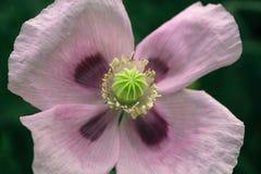 Ρόδινο άγριο λουλούδι παπαρουνών στοκ φωτογραφίες με δικαίωμα ελεύθερης χρήσης