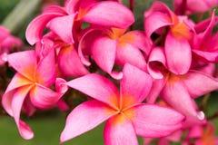Ρόδινο άγριο τροπικό ασιατικό λουλούδι frangipani Στοκ Εικόνα