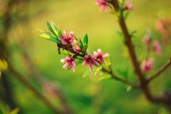 ρόδινο άνθος κερασιών με το πράσινο υπόβαθρο στοκ φωτογραφίες