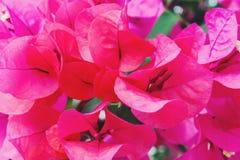 Ρόδινο άνθος κινηματογραφήσεων σε πρώτο πλάνο λουλουδιών bougainvillea Στοκ φωτογραφία με δικαίωμα ελεύθερης χρήσης