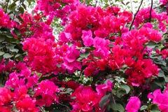 Ρόδινο άνθος κινηματογραφήσεων σε πρώτο πλάνο λουλουδιών bougainvillea Στοκ Φωτογραφία