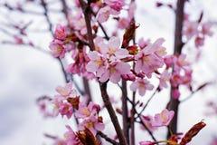 Ρόδινο άνθος λουλουδιών δέντρων της Apple στην άνοιξη Στοκ φωτογραφία με δικαίωμα ελεύθερης χρήσης