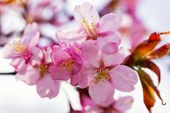 Ρόδινο άνθος λουλουδιών δέντρων της Apple την άνοιξη Στοκ φωτογραφίες με δικαίωμα ελεύθερης χρήσης