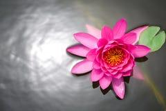 Ρόδινο άνθος λουλουδιών λωτού Στοκ Εικόνες