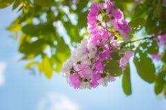 Ρόδινο άνθος λουλουδιών στη φύση Στοκ Εικόνες