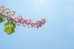 Ρόδινο άνθος λουλουδιών στη φύση Στοκ φωτογραφία με δικαίωμα ελεύθερης χρήσης
