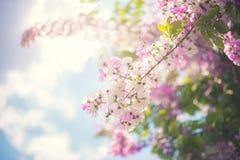 Ρόδινο άνθος λουλουδιών στον κήπο Στοκ Φωτογραφίες