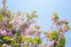 Ρόδινο άνθος λουλουδιών στον κήπο Στοκ Εικόνες