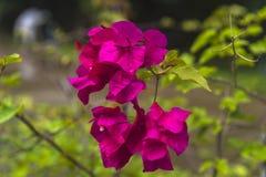 Ρόδινο άνθος λουλουδιών Bougainvillea στην Ασία Στοκ Φωτογραφία