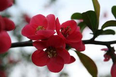 Ρόδινο άνθος μήλων στοκ φωτογραφία με δικαίωμα ελεύθερης χρήσης