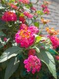 Ρόδινο ή ιώδες λουλούδι camara Lantana Στοκ Εικόνες