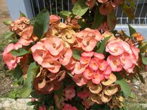 Ρόδινο ή κόκκινο λουλούδι milii ευφορβίας Στοκ εικόνες με δικαίωμα ελεύθερης χρήσης