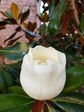 Ρόδινο ανθισμένο λουλούδι magnolia Στοκ Εικόνες
