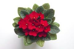 Ρόδινο αφρικανικό ιώδες λουλούδι saintpaulia άνωθεν Στοκ Φωτογραφίες