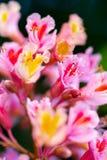 Ρόδινο δέντρο κάστανων, carnea Aesculus Ã-, ή κόκκινο horse-chestnut BL Στοκ Φωτογραφία