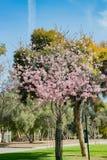 ρόδινο δέντρο κερασιών ανθ Στοκ Εικόνα