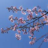Ρόδινο δέντρο κερασιών που ανθίζει στο υπόβαθρο μπλε ουρανού Στοκ Εικόνα