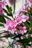 Ρόδινο δέντρο oleander στο άνθος Στοκ εικόνες με δικαίωμα ελεύθερης χρήσης