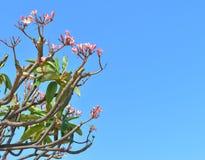 Ρόδινο δέντρο Plumeria σε ένα υπόβαθρο μπλε ουρανού Στοκ Φωτογραφίες