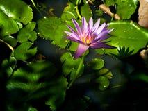 Ρόδινο ιερό άνθος και φύλλα Lotus στη λίμνη, το φωτισμό και τη σκιά στοκ φωτογραφίες με δικαίωμα ελεύθερης χρήσης