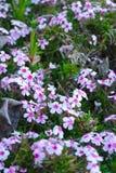 Ρόδινο και άσπρο άλσος λουλουδιών του phlox στοκ εικόνες