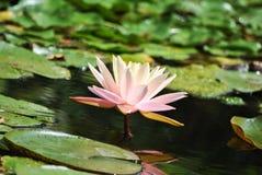Ρόδινο και κίτρινο λουλούδι κρίνων στοκ φωτογραφία με δικαίωμα ελεύθερης χρήσης
