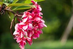Ρόδινο και κόκκινο Plumeria Στοκ Φωτογραφίες