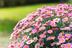 Ρόδινο καλοκαίρι Daisy Μπους Στοκ Εικόνες