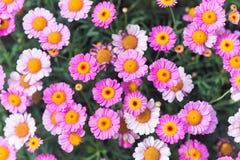 Ρόδινο καλοκαίρι Daisy Στοκ Εικόνες