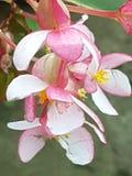 Ρόδινο κοράλλι λουλουδιών στον κήπο 2 στοκ εικόνες