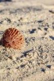 Ρόδινο κοχύλι στην άμμο Στοκ Εικόνες
