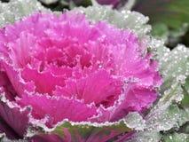 Ρόδινο λάχανο των λαχανώών κραμβών διανυσματική απεικόνιση