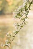 ρόδινο λευκό άνοιξη κλάδω&n στοκ εικόνες με δικαίωμα ελεύθερης χρήσης