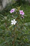 ρόδινο λευκό λουλουδ&io στοκ εικόνες με δικαίωμα ελεύθερης χρήσης