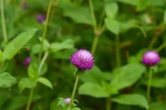 Ρόδινο λουλούδια ή globosa Gomphrena Στοκ φωτογραφία με δικαίωμα ελεύθερης χρήσης