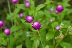 Ρόδινο λουλούδια ή globosa Gomphrena Στοκ Εικόνες