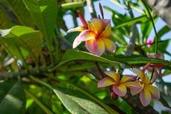 Ρόδινο λουλούδια ή obtusa Plumeria στον κήπο Στοκ εικόνες με δικαίωμα ελεύθερης χρήσης