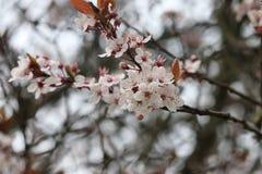 Ρόδινο λουλούδι ανθών στον κλάδο δέντρων στοκ εικόνα με δικαίωμα ελεύθερης χρήσης