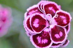 Ρόδινο λουλούδι γαρίφαλων στον κήπο Στοκ Εικόνες