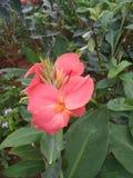 Ρόδινο λουλούδι κρίνων Canna στοκ φωτογραφία