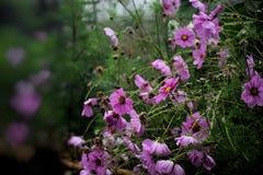 ρόδινο λουλούδι κόσμου στον κήπο και το μαύρο υπόβαθρο Στοκ Εικόνα