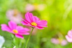 Ρόδινο λουλούδι κόσμου στον τομέα κόσμου Στοκ Εικόνα
