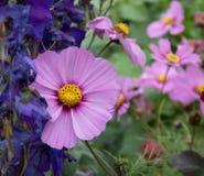 Ρόδινο λουλούδι κόσμου στον τομέα στοκ φωτογραφίες