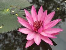 Ρόδινο λουλούδι λωτού στο σκοτεινό νερό στοκ φωτογραφία