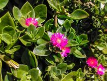 Ρόδινο λουλούδι λόφων στοκ εικόνα