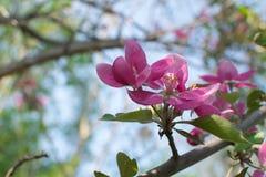 Ρόδινο λουλούδι μήλων Στοκ εικόνες με δικαίωμα ελεύθερης χρήσης