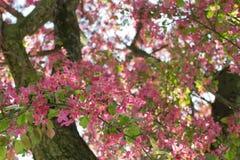 Ρόδινο λουλούδι μήλων Στοκ Φωτογραφίες