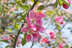 Ρόδινο λουλούδι μήλων Στοκ φωτογραφία με δικαίωμα ελεύθερης χρήσης